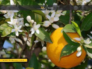 شکوفه بهارنارنج